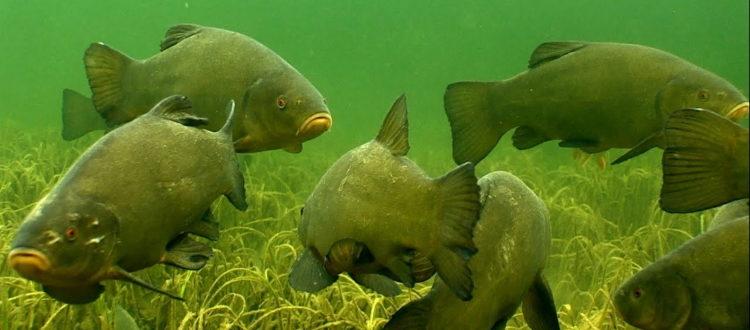 Линь рыба костлявая или нет