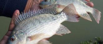 Тилапия что за рыба как готовить