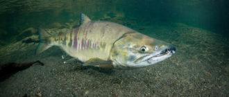 Фото и описание рыбы