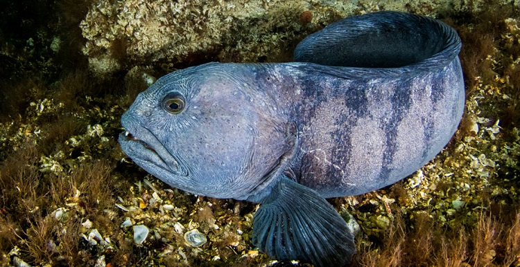 Зубатка что за рыба