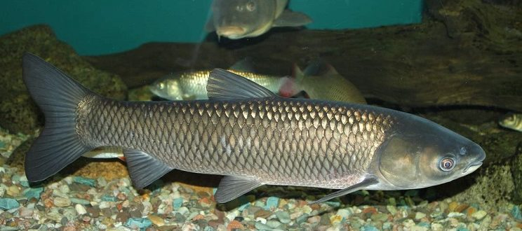 белый амур что за рыба