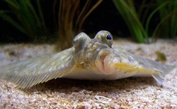 Образ жизни рыбы палтус