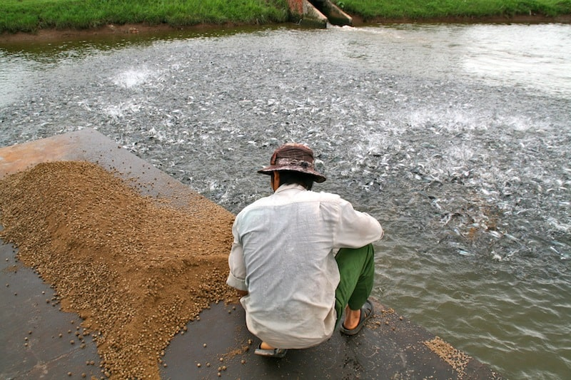 ферма по выращиванию пангасиуса