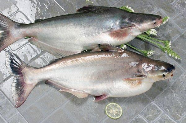 пангасиус в кулинарии