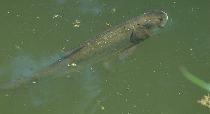 Чем питается рыба толстолобик?