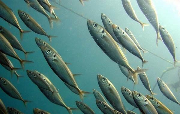 foto stavrida chernomorskaya ryba opisanie osobennosti i sreda obitaniya stavridy 2