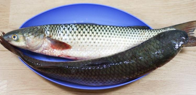 кефаль что за рыба как готовить