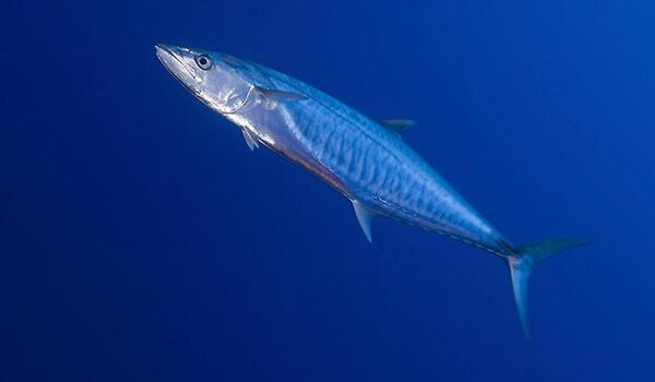 Фото: Рыба макрель