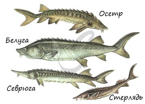 Хрящекостные рыбы
