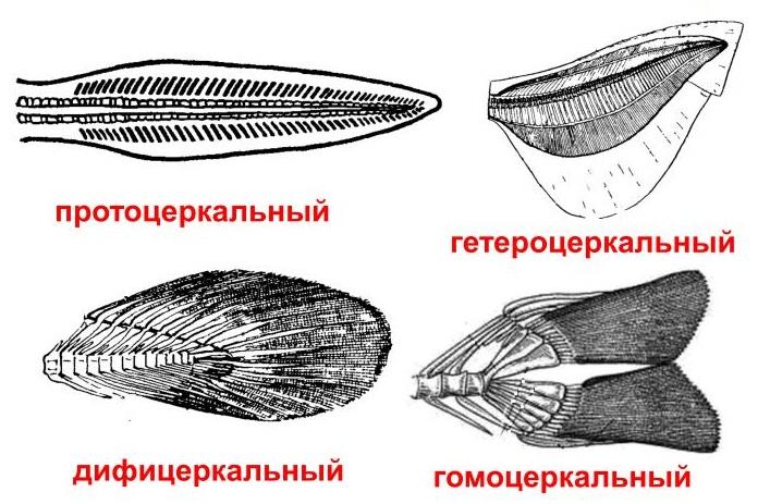 Класс хрящевые рыбы – примеры