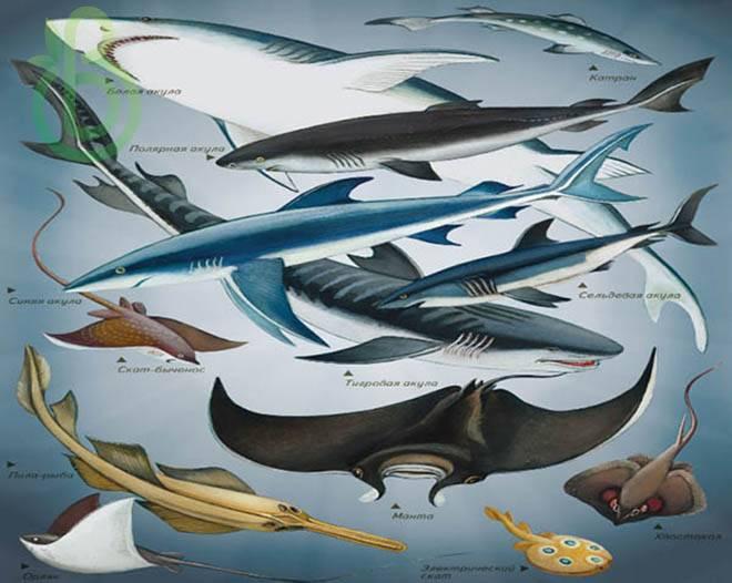 Класс Хрящевые Рыбы. Строение, размножение, разнообразие и значение Хрящевых Рыб.Надотряды: Акулы, Скаты и Химеры
