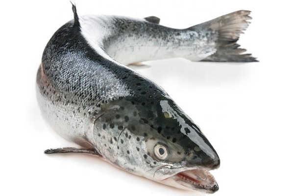 Лосось рыба