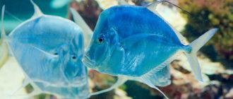 Вомер – что за рыба и где водится