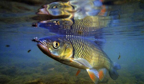Фото: Рыба голавль