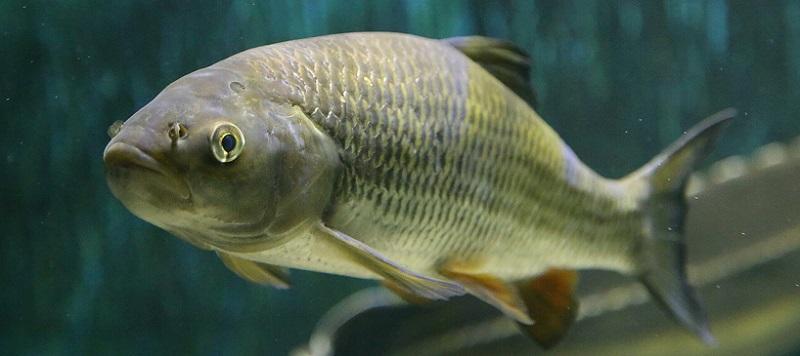 Рыба голавль фото и описание