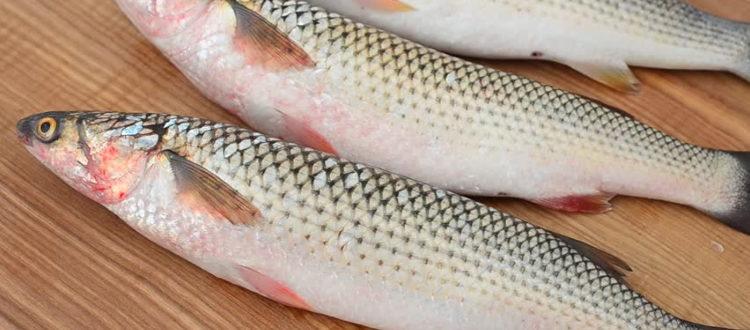 Рыба пеленгас фото и описание