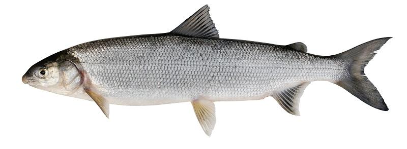 Рыба нельма фото и описание