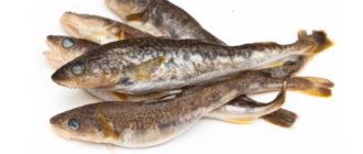 Рыба навага что это за рыба