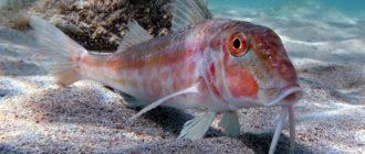 Рыба барабулька фото и описание