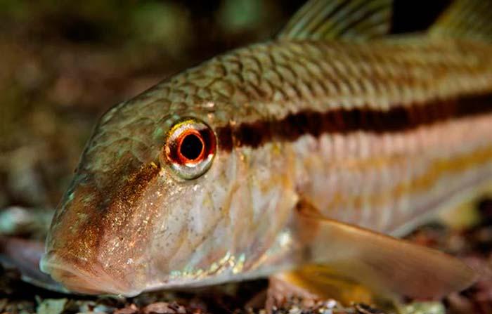 Рыба барабулька фото